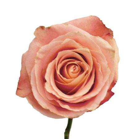 Light Peachy Pink Fado Rose   FiftyFlowers.com