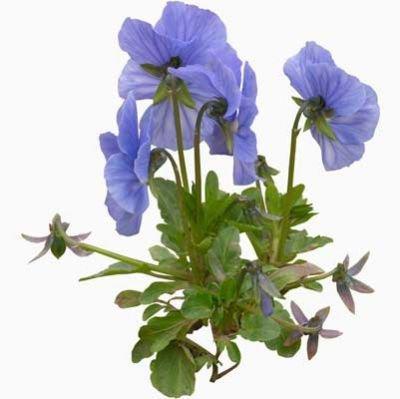 blue green flower png filler garden mood