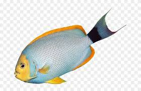 fish png - Google Search