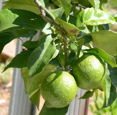 lime tree - Google Search