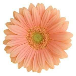Peach Colored Flower