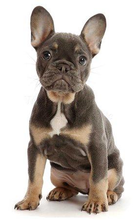 blue-and-tan french bulldog