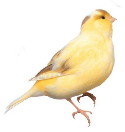 Yellow bird png