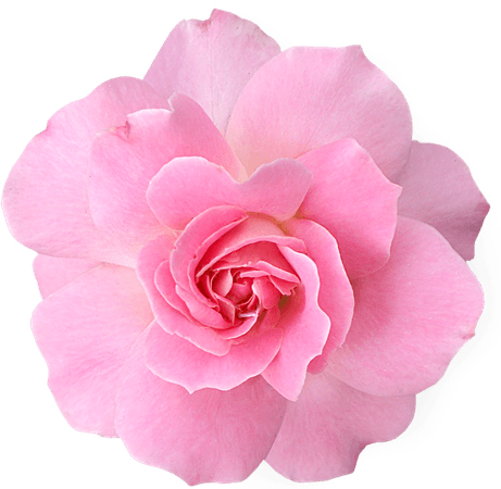 Light-Pink Rose Clipart (Icon Supplies)