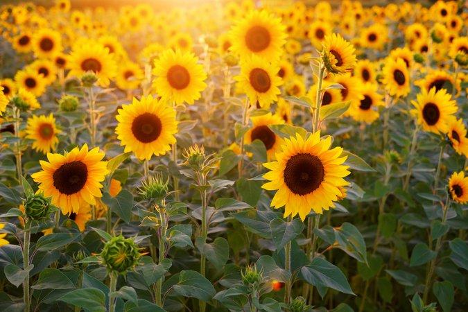 sunflower - Google Search