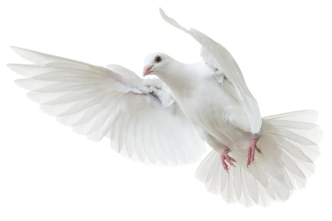 This is the Story of Why the Dove is a Symbol of Peace and Love