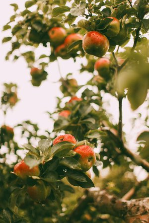 apple orchard garden aesthetic
