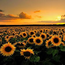 sunflower field - Google Search