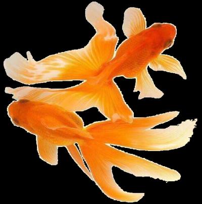 Orange Fish pngs