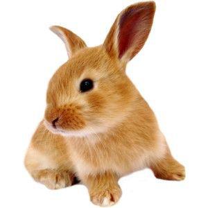 bunny rabbit brown png filler