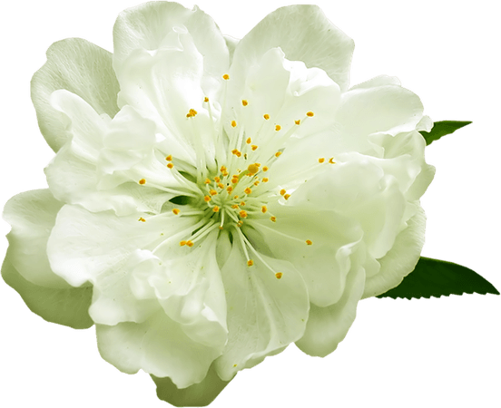 White Flower Clipart (Icon Supplies)