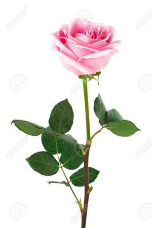 pink single rose - Google Search