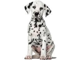 dalmatian puppy png - Google Search
