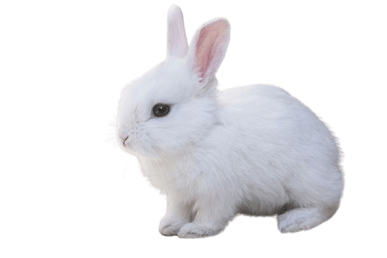 white rabbit bunny png