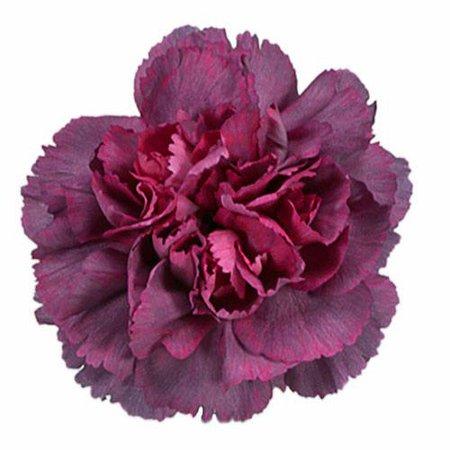 Enchanted Eve Carnation Flowers   FiftyFlowers.com