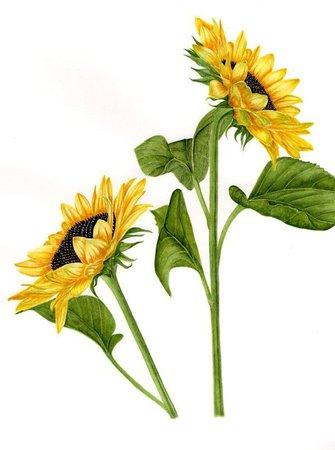 Fiona Kane Botanical Painting: Sunflower COMMISSION