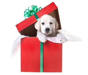 lab puppy christmas stock photo golden retriever white yellow red green christmas present box bow dog puppy