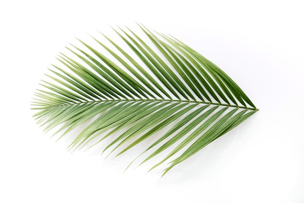 High angle view of a tropical palm leaves isolated on white backdrop Photo | Free Download