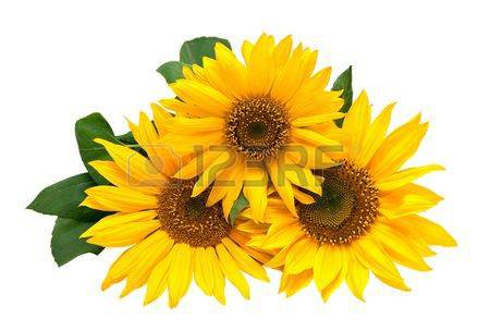 Sunflowers, Isolated On A White Background. Stock Photo, Picture And Royalty Free Image. Image 7899908.