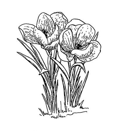crocus flower line drawings - Google Search