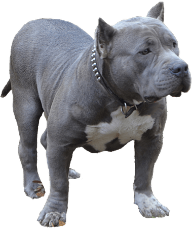 transparent-pitbull-full-grown-6.png (550×653)