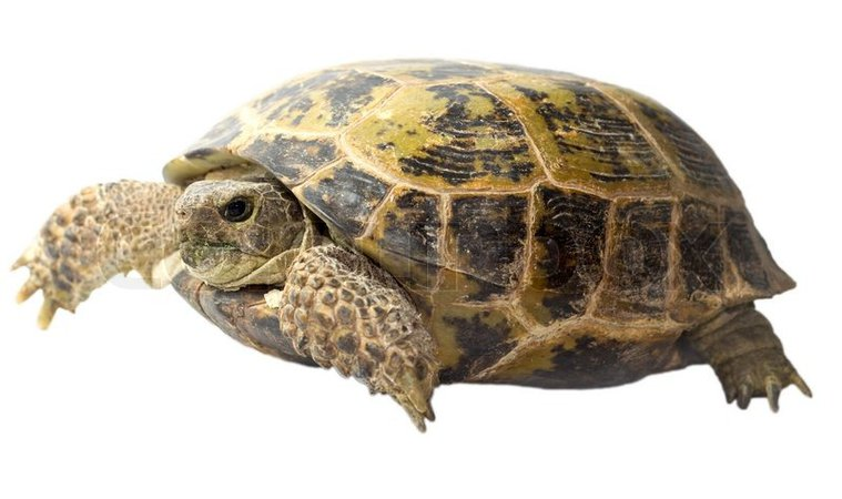 turtle no background - Google Search