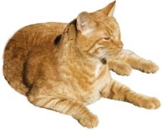 ginger meow png