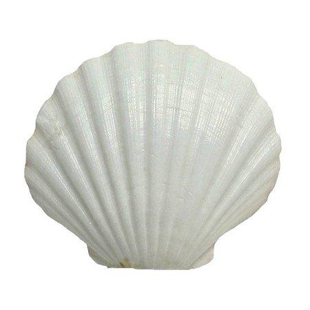 white sea shell
