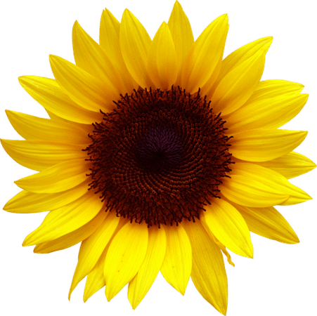 Sunflower Clipart (Icon)
