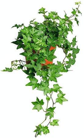 "Amazon.com : AMERICAN PLANT EXCHANGE English Ivy Baltic Trailing Vine Live Plant, 6"" Pot, Indoor/Outdoor Air Purifier : Garden & Outdoor"
