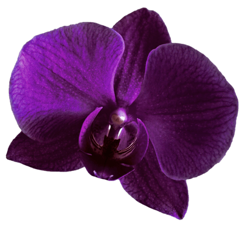 Purple Orchid Clipart (Icon Supplies)