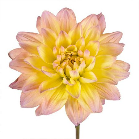 Baby Pink n Yellow Dahlia Flower | FiftyFlowers.com
