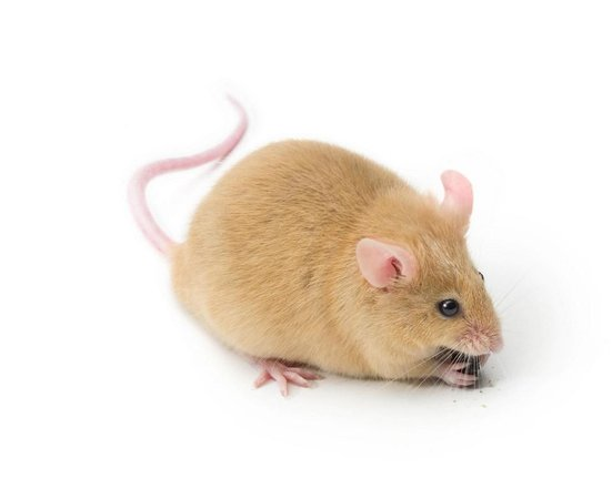 Ginger Mouse