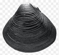 black seashell - Google Search