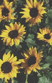 sunflower aesthetic