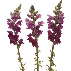 Burgundy_Snapdragon_Flower_300.jpg (300×300)