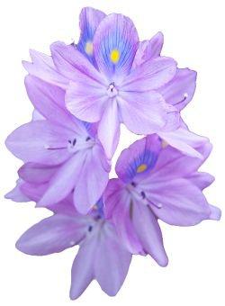hyacinth png flower purple filler