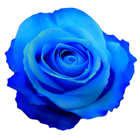 Blue Rose (Clipart for Iconing)