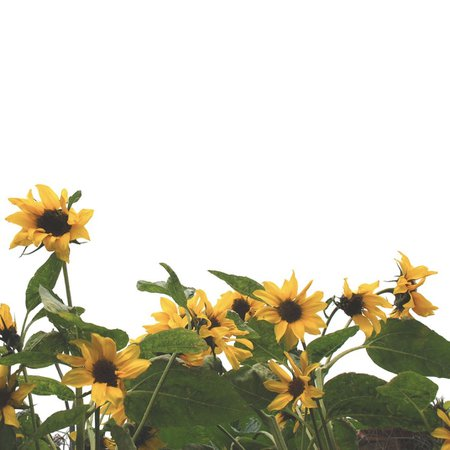 sunflowers with white background