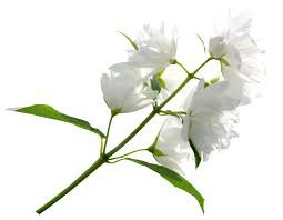 white flowers png - Google Search