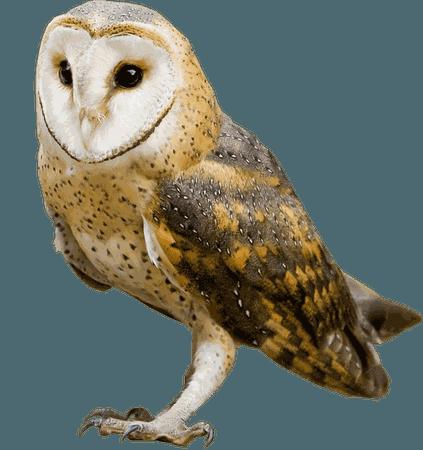 owl transparent
