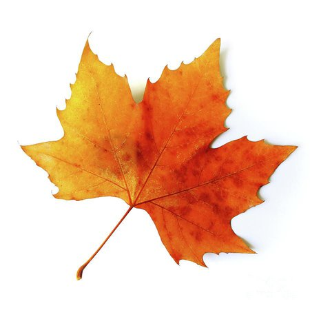 Realistic Autumn Leaf Drawing | Fall leaves drawing, Autumn leaves, Minute to win it games