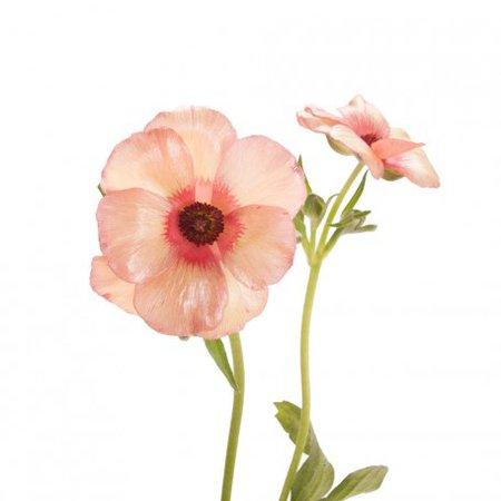 Dark Pink Butterfly Ranunculus | Flower Muse
