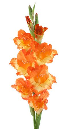 Orange Gladiolus Stem