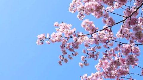 Spring Cherry Blossoms, Pink Flowers Stock Footage Video (100% Royalty-free) 22717942 | Shutterstock