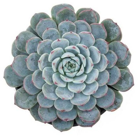 Succulent - @starlcves PNG Collection