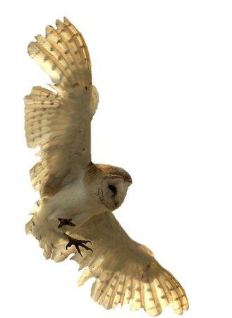 owl png filler