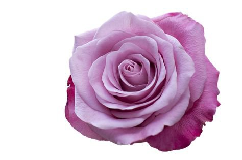 purple filler png rose pastel flower