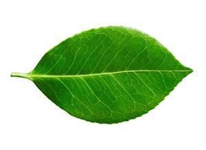 green png filler leaf