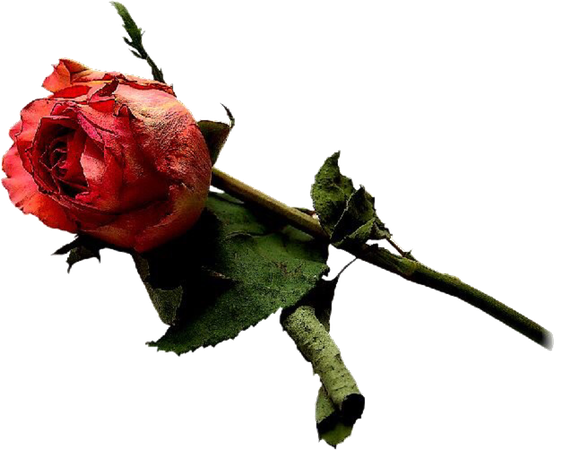 Red Rose pngs